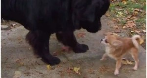 Tiny Chihuahua Saves Her Big Brother From Dog Thief
