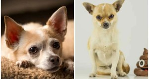 Ultimate Guide to Cure Your Chihuahua's Bad Stomach