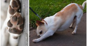 Why Is My Chihuahua Licking His Paws?