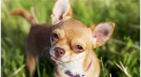 10 Feisty Facts About Chihuahuas