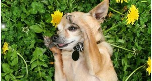 12 Fun Chihuahua Facts You May Not Know