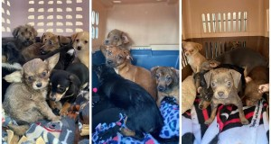 22 Puppies up for adoption in Fresno Saturday