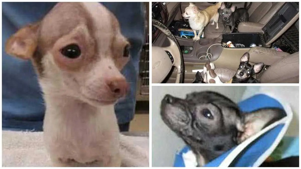 33 Abused Chihuahuas, Rescued From SUV, Had Happy Lives, Says Ex-Owner