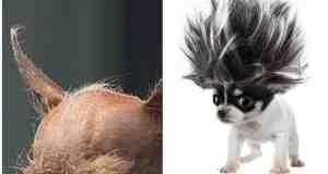 Chihuahua Hair Loss – Allergies or Illness?