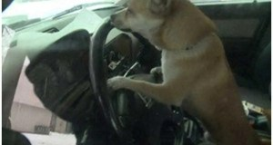 Chihuahua driver causes fender bender