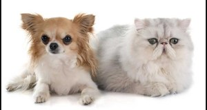 Do Chihuahuas Get Along With Cats? 9 Easy Tips
