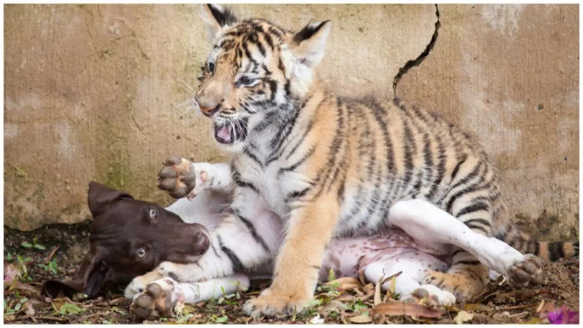 Tiger cub rejected by mother finds a best friend in a little puppy