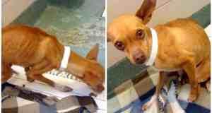 A big hope for tiny Chihuahua