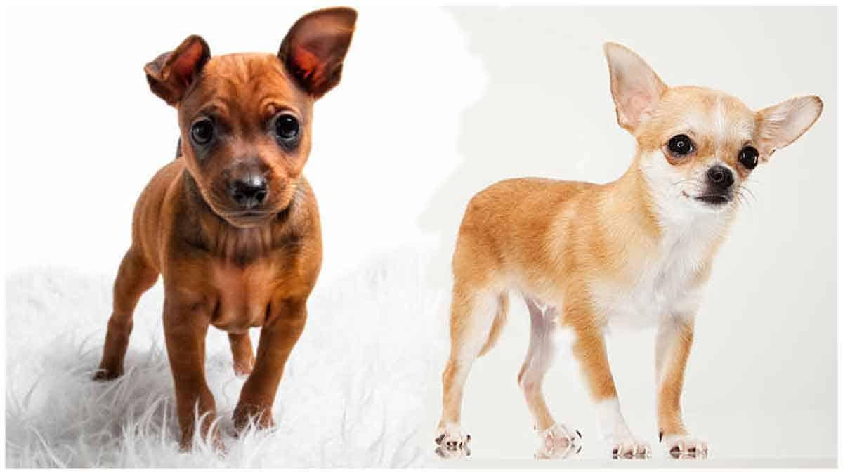 Miniature Pinscher Chihuahua mix: Breed At A Glance