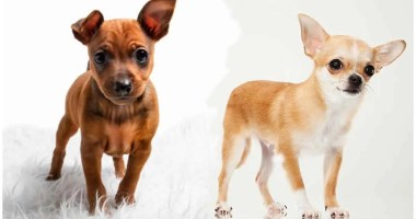 Miniature Pinscher Chihuahua mix: Breed At A Glance
