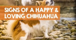 How Do I Know My Chihuahua Loves Me & is Happy? (21 Reasons)