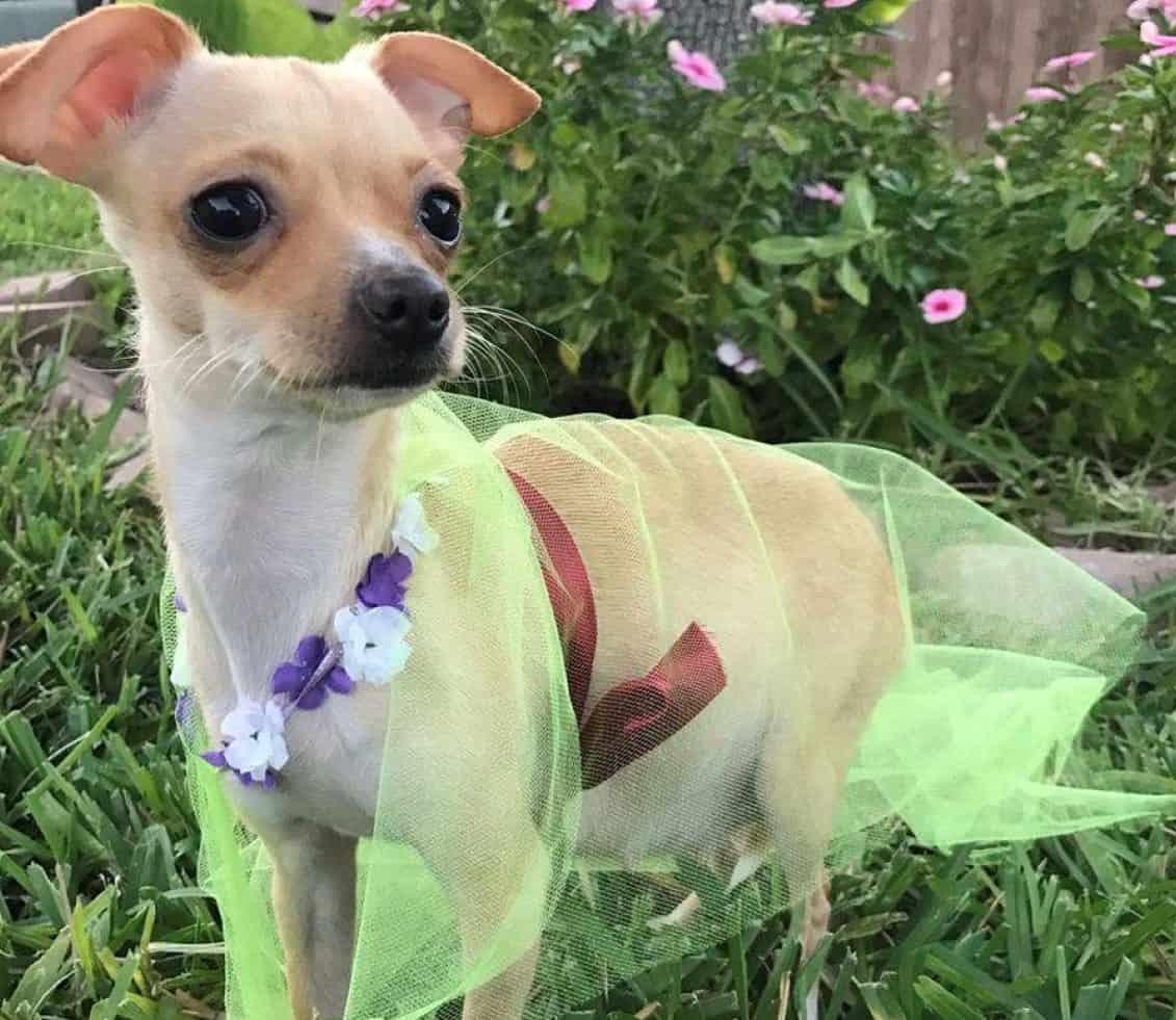Maternity Shoot Chihuahua