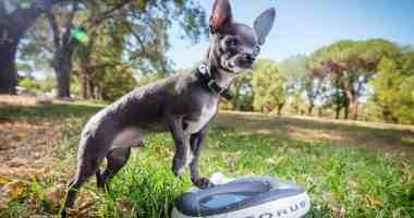 Chihuahua drinking water