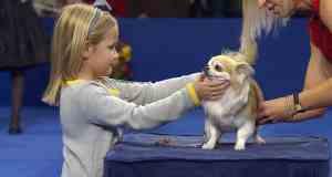 NDS Chihuahua Dog Show