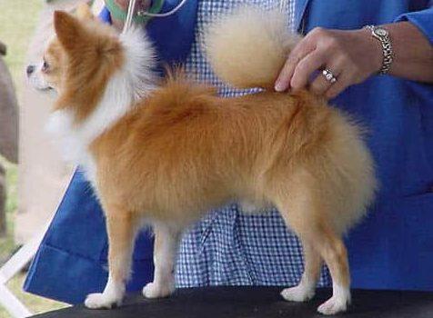 Chihuahua Standards (AKC)