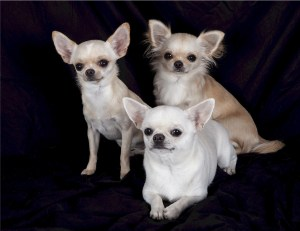 Chihuahuas can have a short smooth coat or have a long fluffy coat.