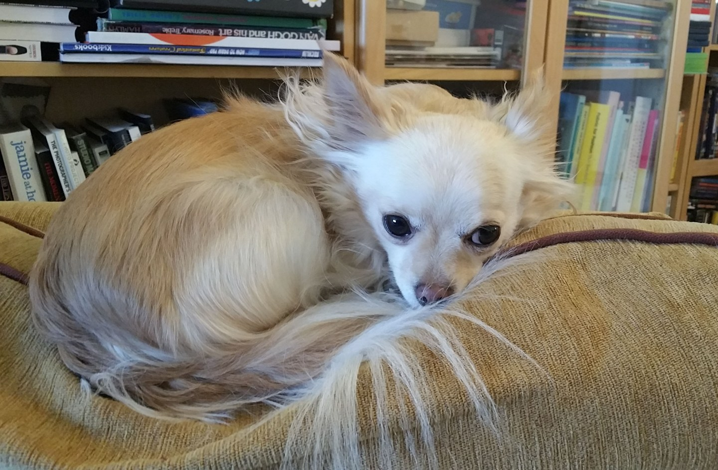 Furniture guarding: dealing with bad chihuahua behaviour