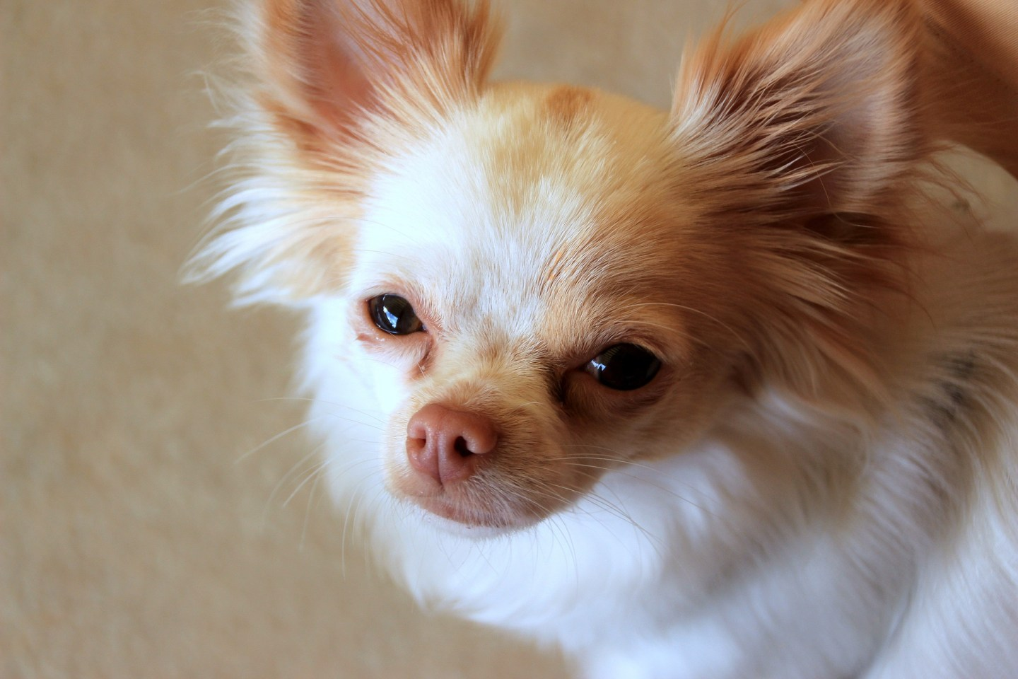 Why does my chihuahua drag his bottom across the floor?