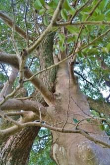 珍樹 鯉の木 みやま市瀬高町太神 釣殿宮
