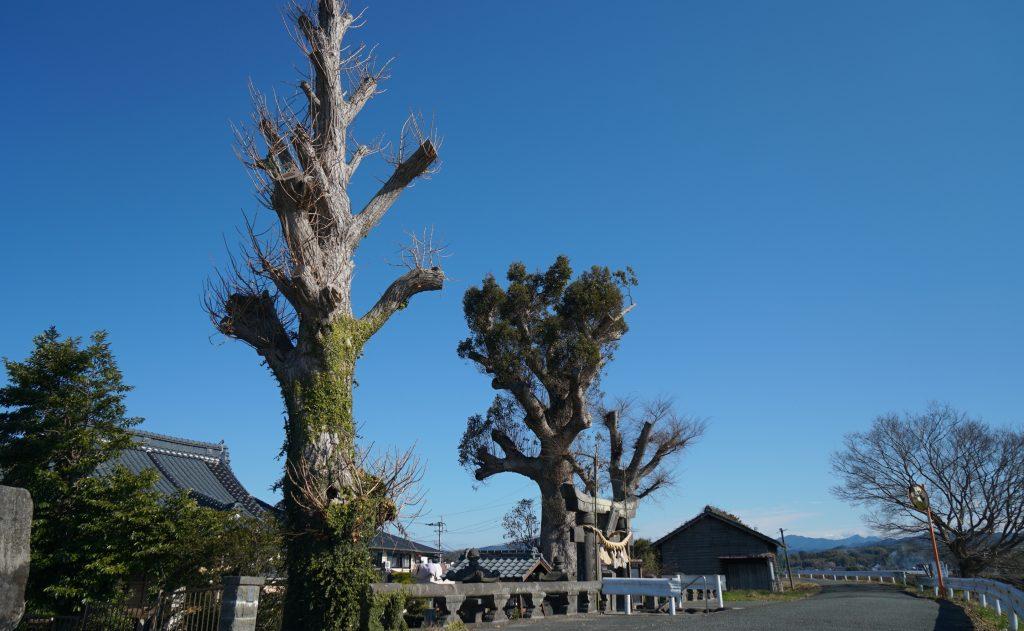 福岡県八女市津江 花宗神社 大きな楠くすのき 2018年冬