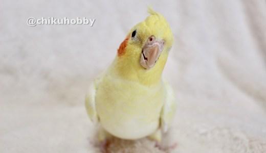 オカメインコルチノーのぽこがはじめての抱卵で卵が癒着、手術しました