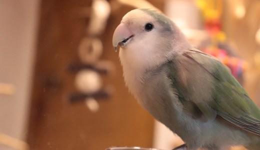 【鳥好きの聖地】Lovebird Cafe CHERRYでインコと鳥スイーツを満喫してきた【京都のグルメ】