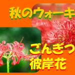 妊娠中の秋のウォーキング!道端に咲くごんぎつねの彼岸花はほんとうに不吉なの?