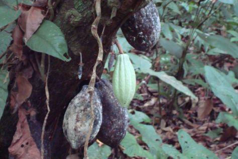 cacao, Kekoldi Indigenous farm tour, Costa Rica