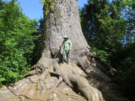 World's Largest Sitka Spruce Lake Quinault