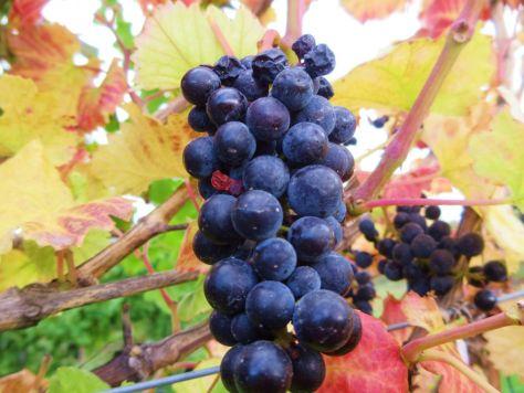 Lake Chelan Winery vineyards Chelan Crush