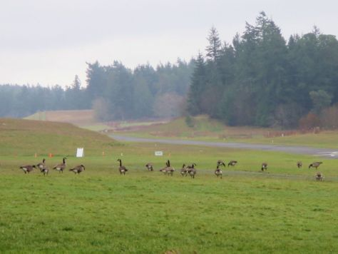 Roche Harbor Canadian geese