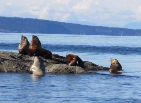 whale-watching-in-the-san-juan-islands 123