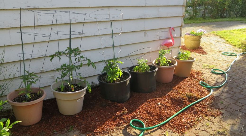 Vegetable gardening growing tomatoes in pots