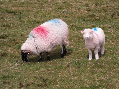 pink and blue sheep dingle peninsula ireland