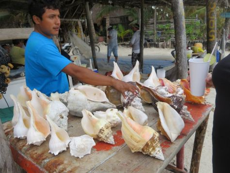Conch shells for sale