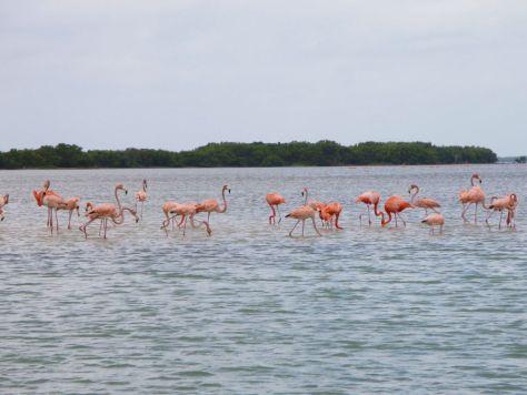 Flamingos, Rio Lagartos