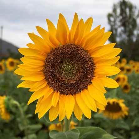 Maravilla 1 Flor