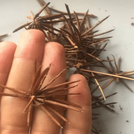Alfalfa Chilota