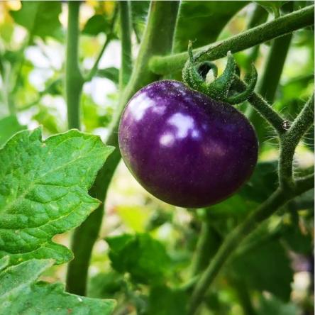 Tomate Arandano