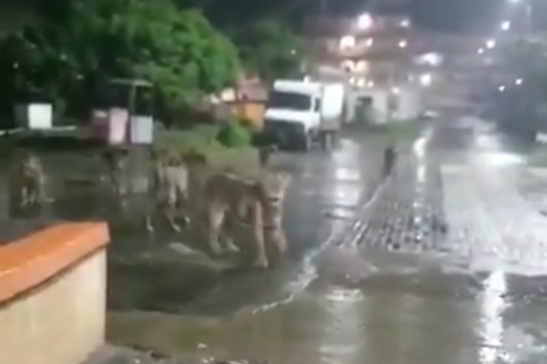Captan a MANADA DE LEONES merodeando en PLENA CIUDAD