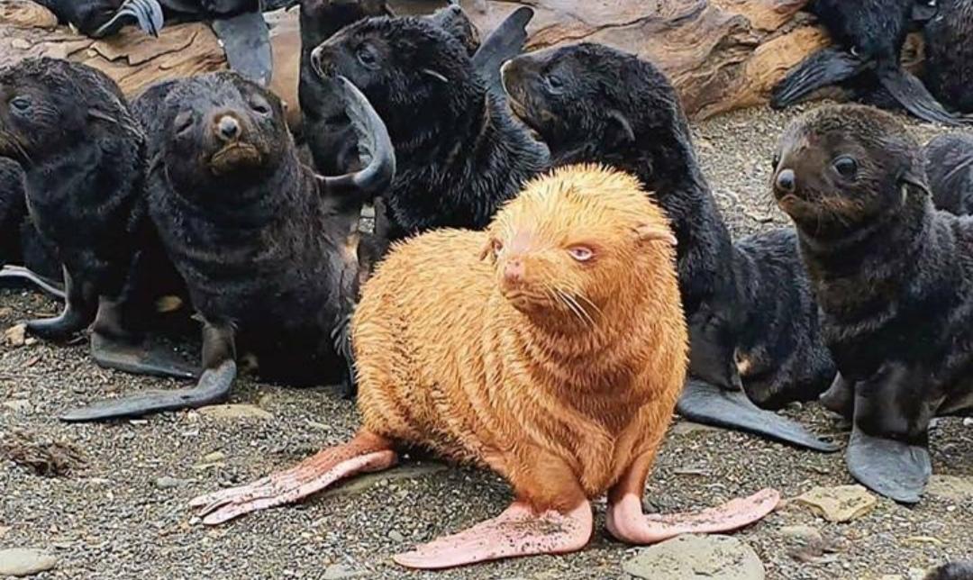 Descubren rarísima foca PELIRROJA y de ojos AZULES, se teme que sea RECHAZADO por la colonia