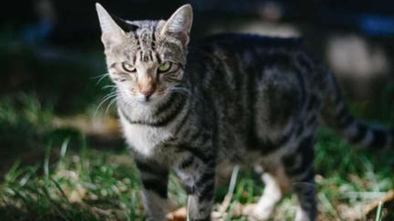 Ponen cámaras y GPS en COLLARES de gatos domésticos y descubren que son FEROCES ASESINOS (VIDEO)