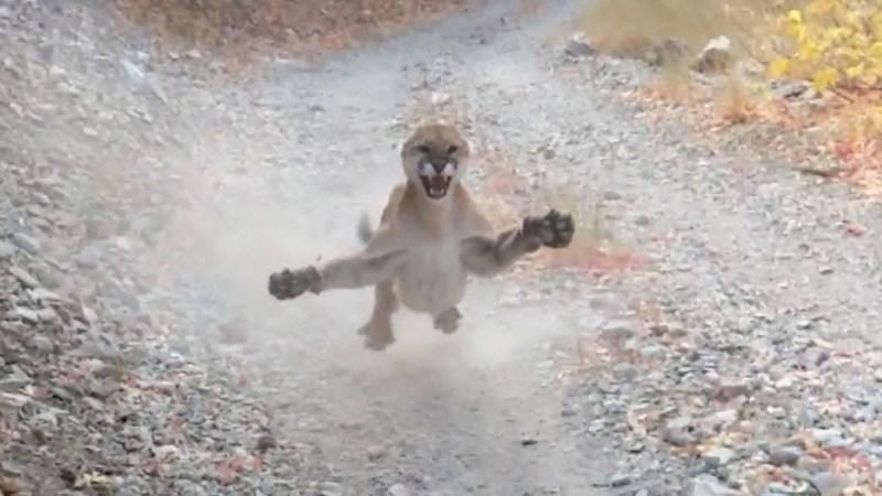 [VIDEO] Los ANGUSTIANTES minutos de un senderista que fue PERSEGUIDO por un puma