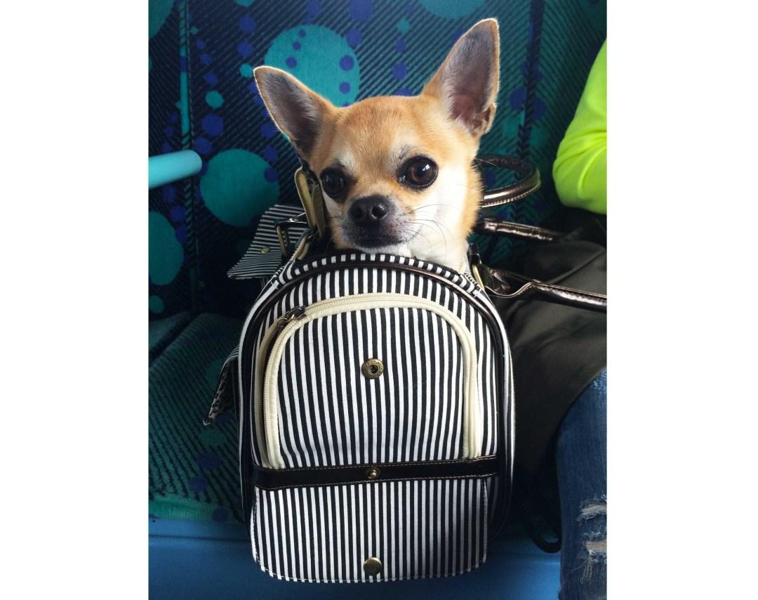 Dog blog new Chihuahua bag