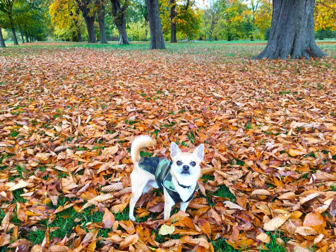 Chilli Chihuahua playing in the coloured leaves Hyde Park