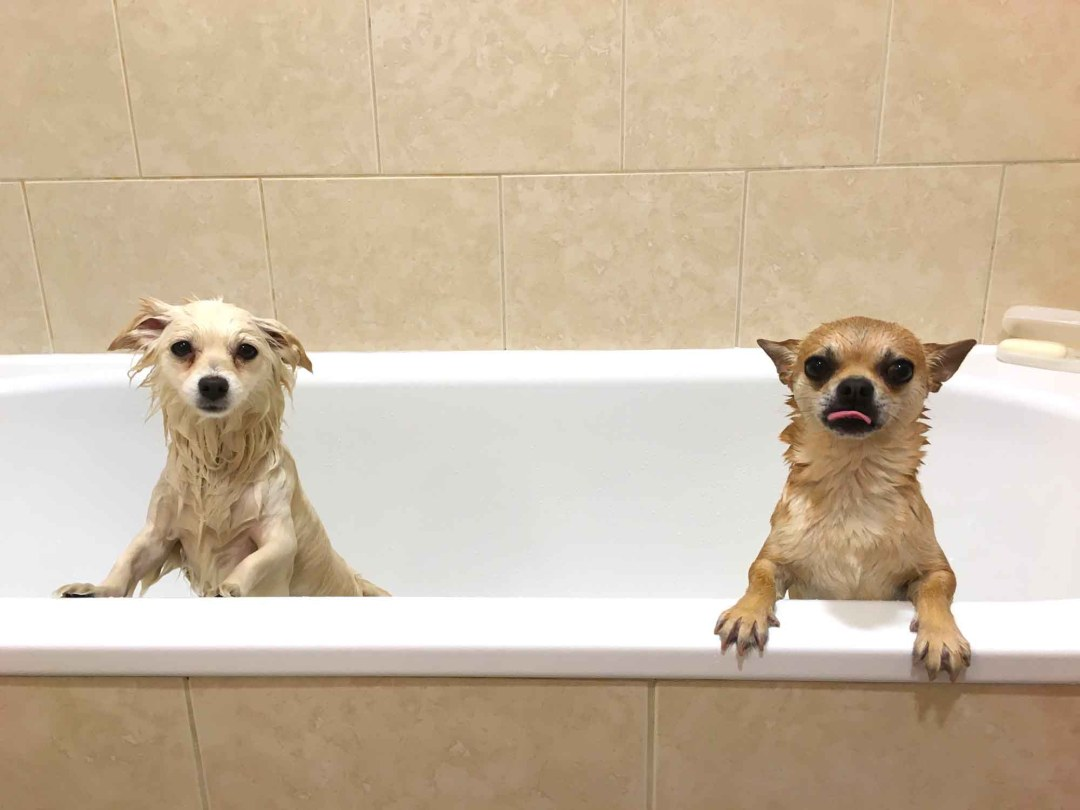 Chilli Chilliwawa and Lucy having a bath