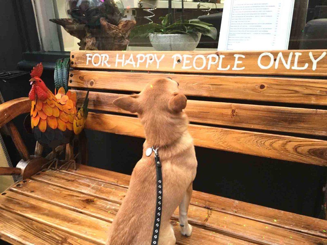 Chilli Chihuahua Chilliwawa on happy bench