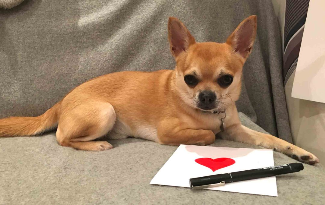Chilli Chihuahua Chilliwawa getting a fan mail