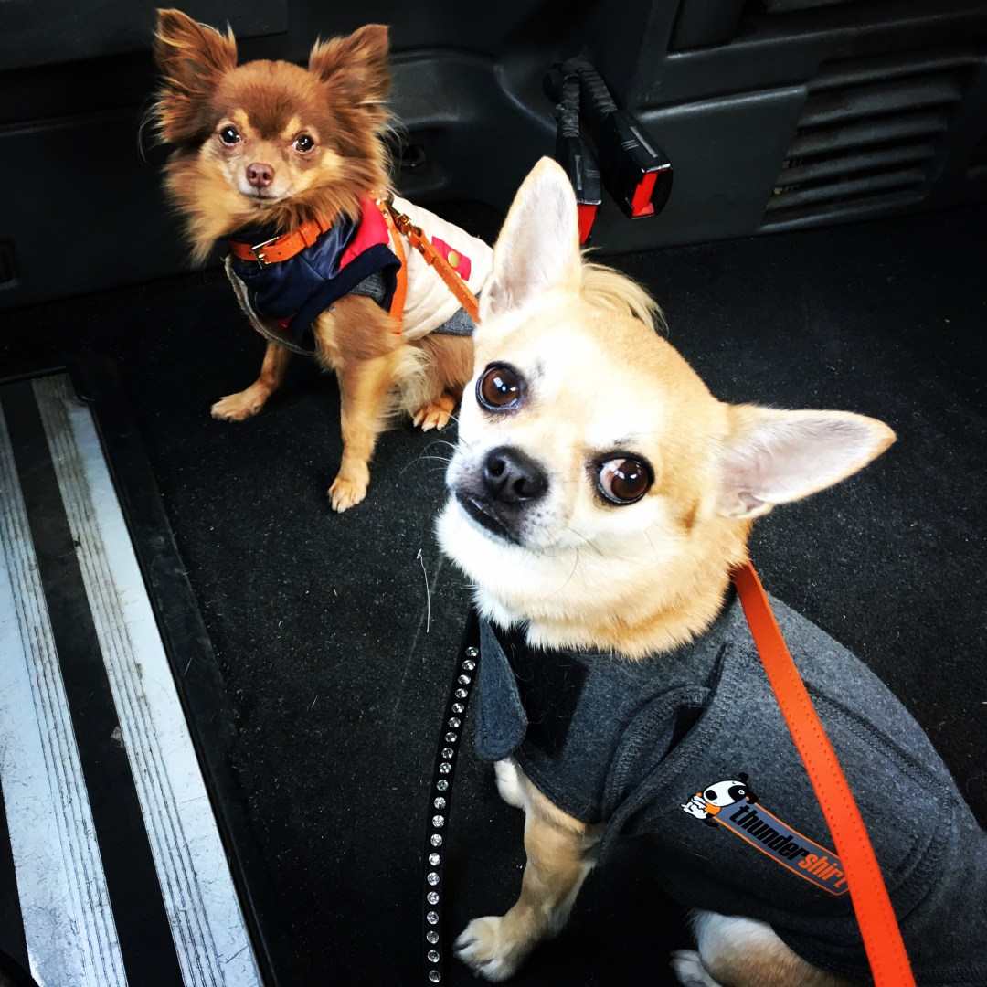 Chilli Chihuahua with his buddy Lucky