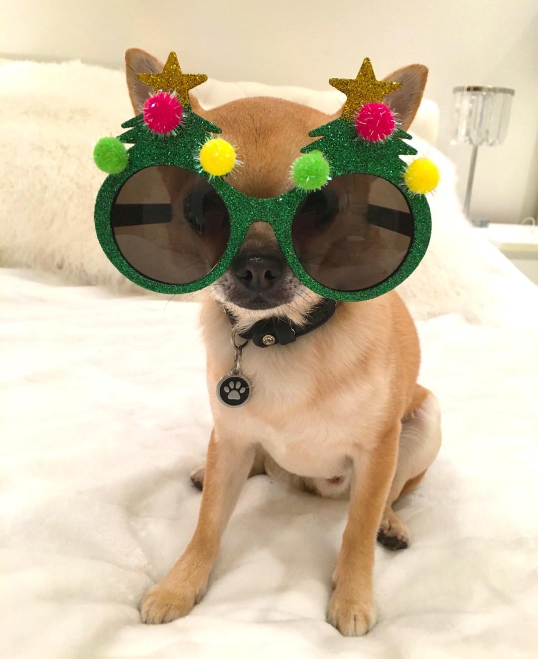 Chilli Chihuahua wearing Xmas tree glasses